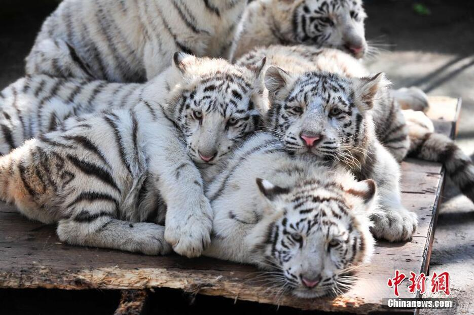 云南野生动物园5只小白虎卖萌