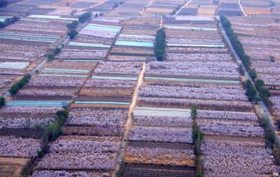 俯瞰新疆托克逊县杏园 仿佛置身粉色海洋