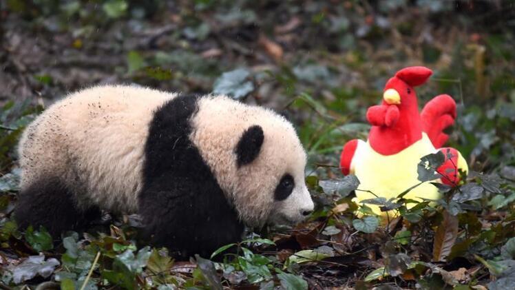 大熊猫宝宝迎新年