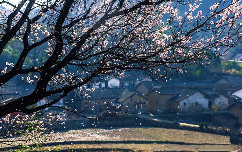 湖北麻城:杏花盛满枝仙女散花时