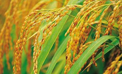 宁波市7个水稻品种列入2016年浙江省主导品种
