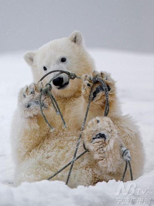 stern在阿拉斯加拍摄到了一组滑稽而可爱的照片,两只北极熊幼崽趁