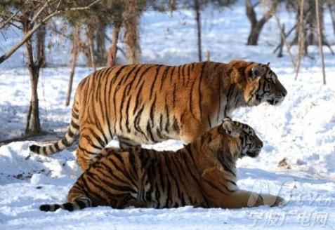 野生东北虎是世界濒危野生动物之一,目前仅存不到500只.