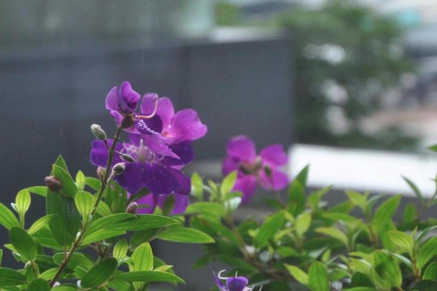 紫荆花开灿烂庆香港回归祖国20周年