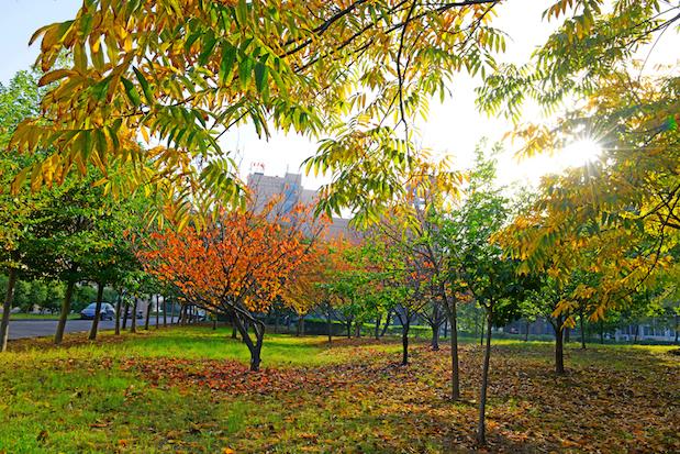 一排排银杏树叶子金黄一片,在秋日暖阳的照射下,金光灿灿,美不胜收