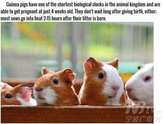 豚鼠是动物王国里生物钟最短的动物,它们在四周大的时候就能怀孕,怀孕后2至15个小时就能产下小宝宝。 NO.9
