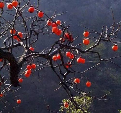 """四明山的柿子红了!""""掀开盖,用嘴吸着吃""""的时候到了"""