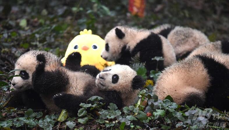 大熊猫宝宝迎新年-宁波广电网