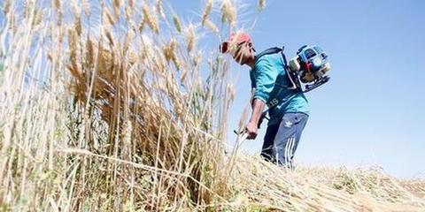 中国主产区秋粮收购启动 实行最低收购价政策