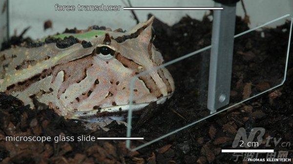 神奇口水和强壮的舌头 青蛙用它举起3倍体重的物体