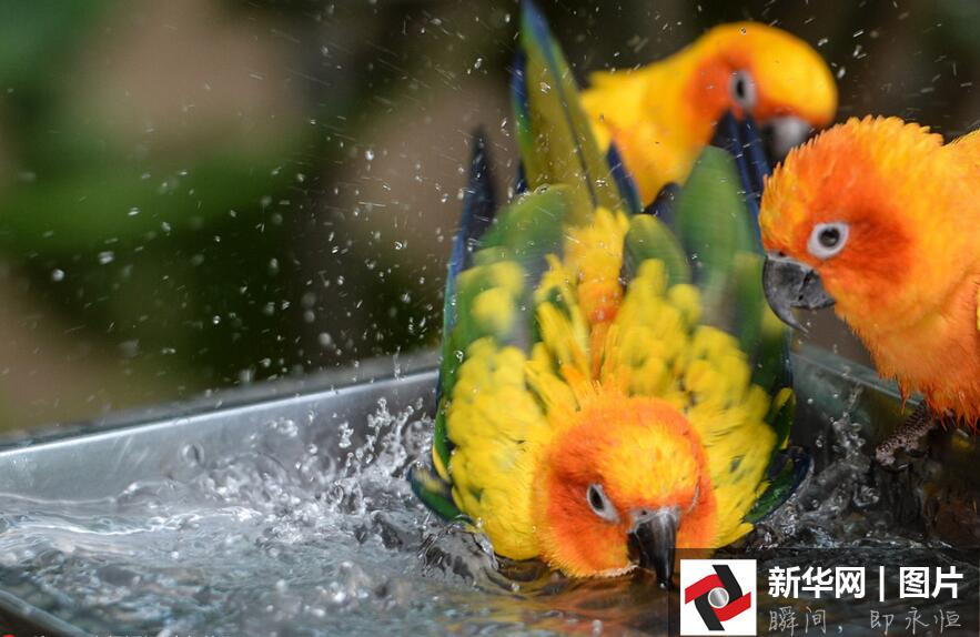 图为黑猩猩吃西瓜。 近期的高温,不仅人热得难受,让北京野生动物园里的动物们也有些吃不消。记者在北京野生动物园看到,棕熊、老虎这样的大型动物,一直泡在水里降温;猴子吃起了饲养员为它们准备的水果;还有不少动物都躲在天然形成或人工搭建的凉棚下。据动物园相关负责人介绍,由于近期气温居高不下,在饲养上,动物园会尽量给灵长类动物、草食动物喂食水分含量高的蔬果,并准备大量清洁新鲜的饮用水。在热带鸟馆和部分有怕热动物的展馆内,每天更换新鲜清洁用水,加强空气流动,以保证馆内适宜的温度和湿度。