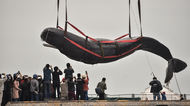 搁浅抹香鲸死亡 在惠州港被打捞上岸