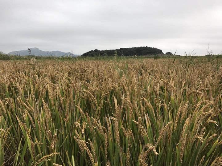 宁波滩涂种水稻大丰收 平均亩产超800斤