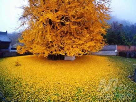 李世民种的银杏美千年 宁波同龄银杏也美极了