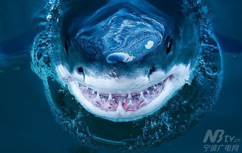 虽然与电影《海底总动员》中大鲨鱼布鲁斯的丑萌形象有几分神似,但